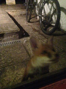 The fox at our back door a couple of months ago (it's a lot bigger now).
